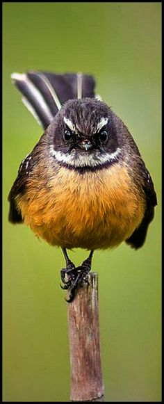Fantail - A rather inquisitive little bird out in the wetlands photo by Richard Jackson animal pet wilderness wildlife nature cute Pretty Birds, Love Birds, Beautiful Birds, Exotic Birds, Colorful Birds, Animals And Pets, Cute Animals, New Zealand Art, Wildlife Nature