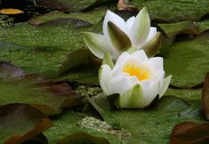 Water lilies, Nymphaea alba