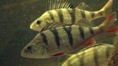 Ahven on Suomen kansalliskala Fish, Pets, Animals, Animales, Animaux, Pisces, Animal, Animais, Animals And Pets