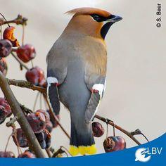 Nur alle paar Jahre kann man die #Seidenschwänze aus dem hohen #Norden auch bei uns beobachten aber in #Bayern haben sie sich bisher noch nicht gezeigt. Oder habt ihr hier doch schon welche gesehen? Dann meldet sie uns!  #seidenschwanz #invasion #seidenschwanzinvasion #waxwing #bohemianwaxwing #bavaria #vogel #vögel #bird #birds #instabird #instabirds #birdsofinstagram #birdwatching #birding #vogelbeobachtung #natur #nature #naturschutz #naturephotography