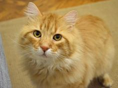 Charles is an adoptable domestic medium hair searching for a forever family near New York, NY. Use Petfinder to find adoptable pets in your area.