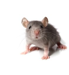 The liquid enables rodents to communicate with one another. It's also at the core of our asthma epidemic