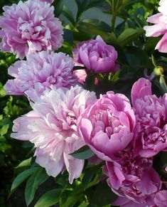 Amazing and beautiful in the garden, and as cut flowers, here's how to grow Perfect Peonies! (and some of our favorites to grow!)