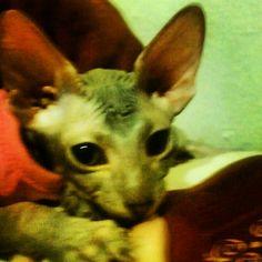 Coco-Mau Aqua as a kitten