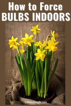 Learn how to force bulbs indoors to bloom before they would normally bloom outside. Spring-blooming bulbs such as tulips, daffodils, hyacinths, and crocus are ideal for this process. This article… More Hydroponic Gardening, Indoor Gardening, Container Gardening, Gardening Tips, Spring Flowering Bulbs, Spring Bulbs, Love Garden, Garden Care, Daffodils