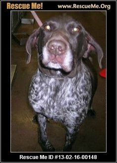 Sally— Utah German Shorthaired Pointer Rescue — ADOPTIONS — RescueMe.Org