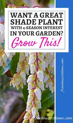 These tips on growing Pieris Japonica are the best! I love that it adds interest to the garden all year round. question everything / GcF.