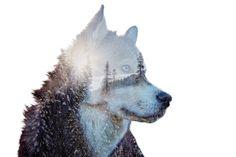 Double exposure dog tattoo, like the idea..  Wild at Heart by Amanda Tromp - Photo 130422123 - 500px