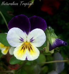 Flor del Pensamiento salvaje (Viola tricolor), planta que dio origen a los famosos Pensamientos