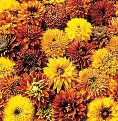Rudbeckia is a plant genus of 23 species in the family Asteraceae. The species are commonly called cone flowers and black-eyed-susans; all are native to North America and many species are cultivated in gardens for their showy yellow or gold flower heads.
