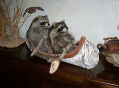 Let's Go! But they can't go #raccoon #ship