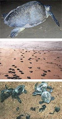 Help Protect Baby Sea Turtles at The Rainforest Site