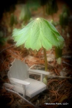 Podophyllum peltatum aka Fairy Umbrellas