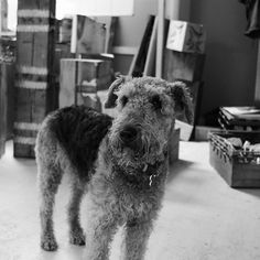 This is Kaymee  Kaymee is my workshop buddy  Kaymee my best mate  she's an Airedale terrier so it comes wth job.  Here she is about to cause trouble by lending a oak baton for chew stick! !! #airedaleterrier #woodartist #workshopdog