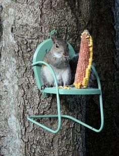 "Kathleen Jackson Photography - ""And There You Have It! Squirrel Sitting In A Chair! The squirrel chair / feeder which has been up only 3 days is very popular. There is a squirrel on it every time I look outside. They are taking turns, sometimes with a bit of squabbling. It's just dark now, about 7 pm, and the same squirrel is still out there eating. The ear of corn I put out this morning is nearly gone. So far, I'm giving this feeder 5 out of 5 acorns!"""