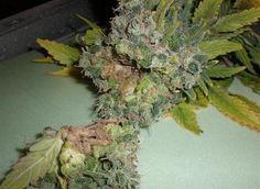 Buiten wiet kweken - Encyclopedie