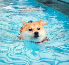 Wow a wet shiba that isn't demonic Cute Funny Animals, Cute Baby Animals, Animals And Pets, Cute Cats, Shiba Inu, Cute Puppies, Dogs And Puppies, Doggies, All Breeds Of Dogs