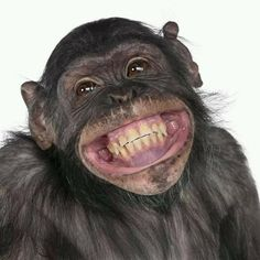 New Memes Chistosos Viernes Ideas Monkey Pictures, Funny Animal Pictures, Cute Little Animals, Cute Funny Animals, Photos Singe, Smiling Animals, Cute Monkey, New Memes, Animal Faces
