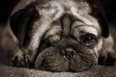 awww, reminds me of my P-Nut!!! I love pugs!