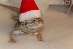 Santa Clause *cough* Velcro *cough* has brought us some adorable baby Bearded Dragons for Christmas! Santa Clause, Bearded Dragon, Dragons, Cute Babies, Christmas, Baby, Animals, Papa Noel, Xmas