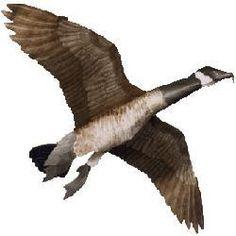 canada goose jackets do they kill geese