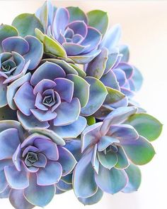 4,413 отметок «Нравится», 25 комментариев — Succulents & Cacti (@leafandclay) в Instagram: «Gotta love Perle Von Nürnbergs! Oh yeah, and you can get em on leafandclay.co! (link in bio)…»