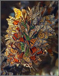 Monarch Butterfly Cluster Do you know.Monarch populations are plummeting? Find out what you can do to help: Monarch Waystation Seed Kit: www. Beautiful Bugs, Beautiful Butterflies, Amazing Nature, Stunningly Beautiful, Absolutely Stunning, Beautiful Creatures, Animals Beautiful, Animals Amazing, Papillon Butterfly