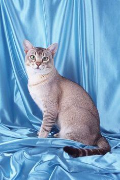 Азиатская кошка
