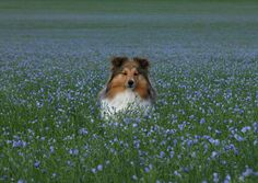 The Shetland Sheepdog originated in the and its ancestors were from Scotland, which worked as herding dogs. These early dogs were fairly I Love Dogs, Cute Dogs, Smartest Dogs, Shetland Sheepdog Puppies, Sheltie, Dogs And Puppies, Doggies, Cockapoo Puppies, Sheep Dogs
