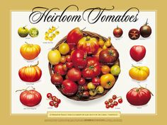 Growing Heirloom Tomato Plants - hits and tips to help you grow the best tomatoes