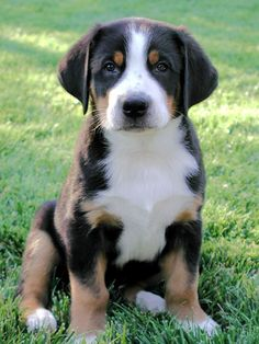 Greater Swiss Mountain Dog Puppy!