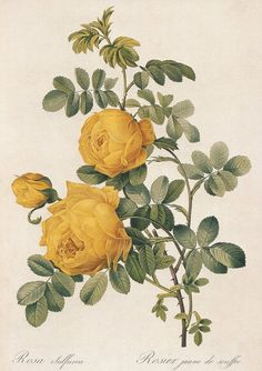 botanical print-yellow rose