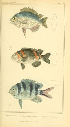 Vintage natural history fish illustration. The animal kingdom, arranged according to its organization, serving as a foundation for the natural history of animals. London, G. Henderson,1834-1837.