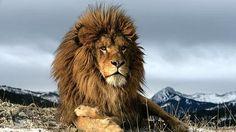 Más allá de Cecil, siete razones para amar a los leones http://elcomercio.pe/mundo/actualidad/mas-alla-cecil-siete-razones-amar-leones-noticia-1830223…