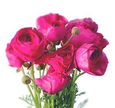 25 best hot pink flowers images on pinterest beautiful flowers hot pink ranunculus september through june mightylinksfo