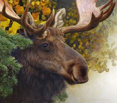 spruce moose: Photo by Photographer R Christopher Vest - photo.net