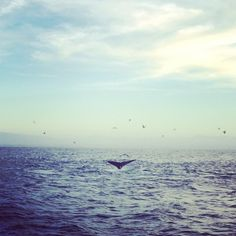 The unique geography of the Monterey Bay allows for some incredible wildlife sightings. There are many times during the year when you can see #whales just off the coast. #whalewatching
