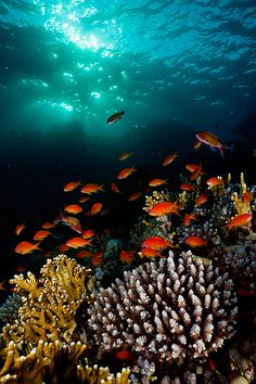 Red Sea ♥´¯`•.¸¸.☆◉★ re-pinned by http://www.waterfront-properties.com/blog/huge-win-for-floridas-corals.html  ★◉☆ .¸¸.•´¯`♥
