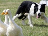 Mengenal Herding Dog, si Penggembala Ternak