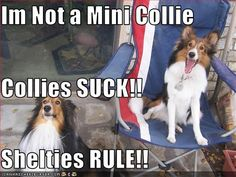 This made me laugh!  So true, not mini's. But my collie is awesome & my Shelties love her too! Yes, I have BOTH! That's what makes my world turn :)