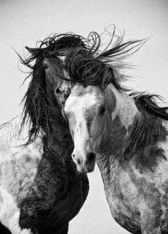 Une magnifique photo en noir et blanc de deux chevaux la crinière au vent.