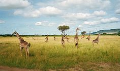 The Masai Mara: It will not be long before it's gone. (The Guardian)