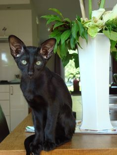 Black Siamese Cat  Beautiful cat. I love how this cat looks. So serious. Incensewoman