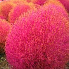 Online Shop Grass Seeds Perennial 100pcs Kochia Scoparia Seeds Red ...