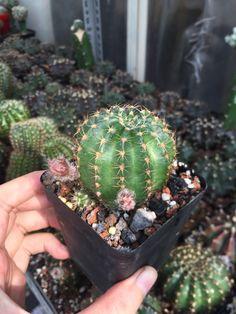 #cactus #cacti #cactii #cactilove #succulents #succulent #succulove #lobi #lobivia #flowers #erialshop #saigon #tphcm #xuongrong #pink #gymno #gymnocalycium #mammirila