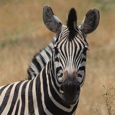 Zebra by Janaka