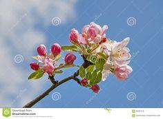 Картинки по запросу цветки яблони