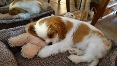 Marcus the Cavalier King Charles Spaniel puppy King Charles Puppy, Cavalier King Charles Dog, King Charles Spaniel, Cute Baby Dogs, Cute Baby Animals, Cute Dogs And Puppies, I Love Dogs, Doggies, Cavalier King Spaniel