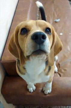 "Mateo ♥.... Reenu.- ""Beagles / Mateo ♥ / Hermosuras"""