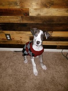 14 week old Great Dane Puppy known as Cinna! He's 33.7 lbs today